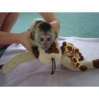 Monos capuchinos bien entrenados*!!!