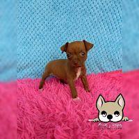 Hermosa cachorra pincher bolsillero en venta de color chocolate